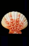 Annachlamys iredalei  cowries.info collector shell sales